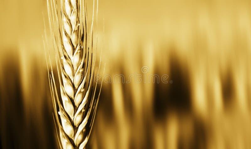 Primo piano del raccolto del frumento   fotografia stock libera da diritti