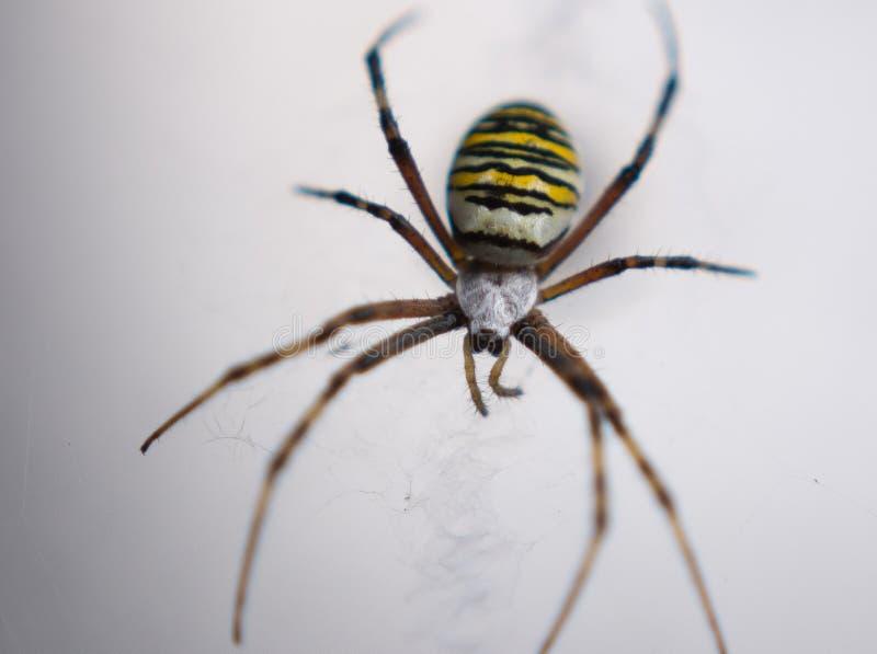 Primo piano del ragno della vespa immagini stock