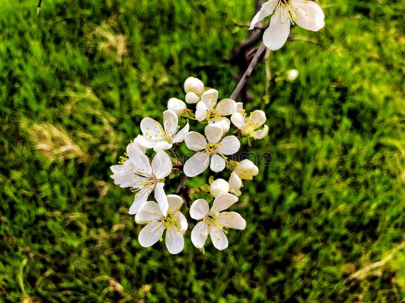 Primo piano del ramo del fiore Tempo della primavera, cielo soleggiato, alberi di fioritura nel villaggio fotografia stock