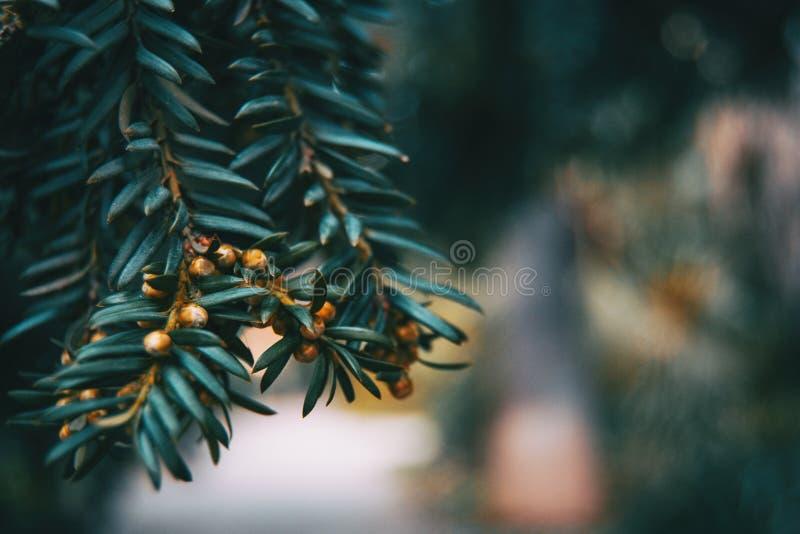 Primo piano del ramo del tasso di Baccata con i piccoli frutti fotografia stock