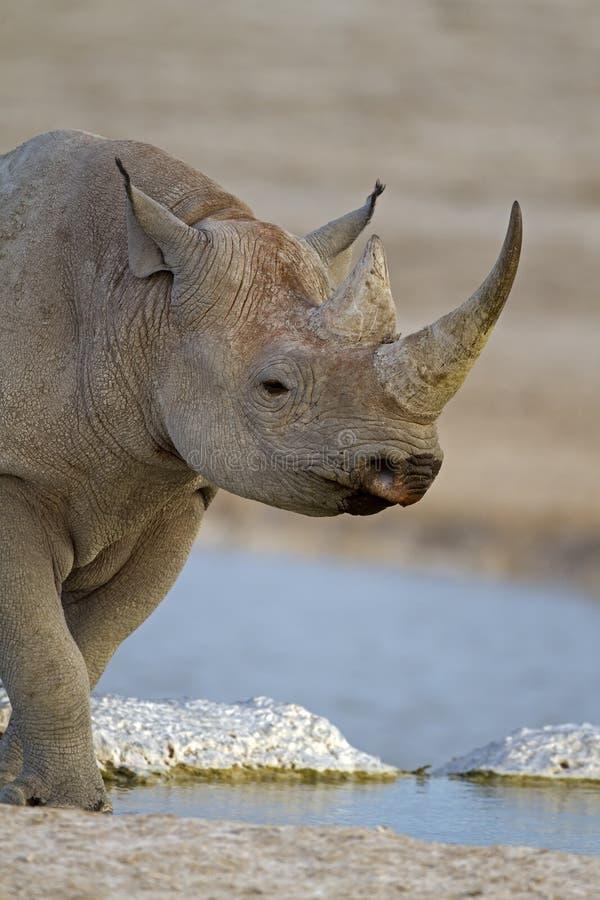 Primo piano del rinoceronte nero fotografia stock