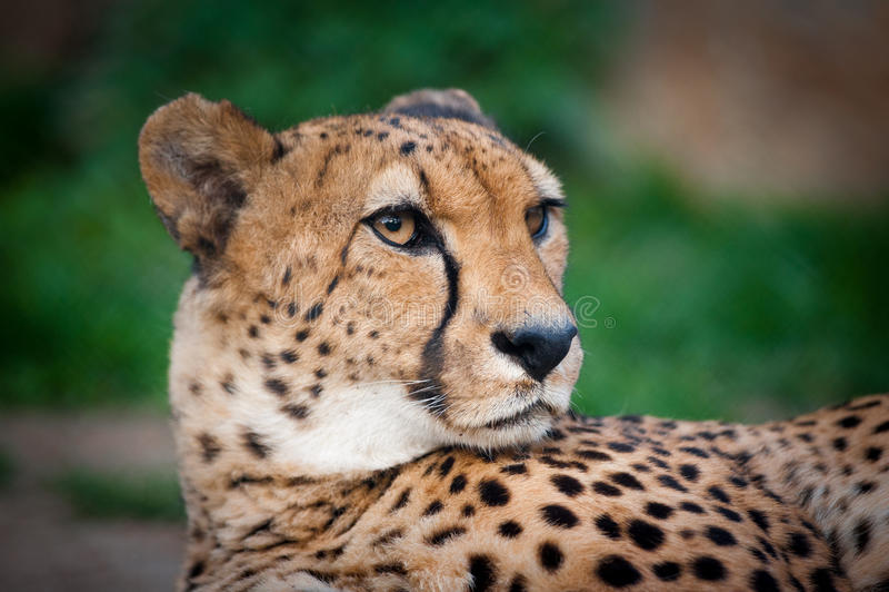 Primo piano del ritratto del ghepardo immagine stock libera da diritti