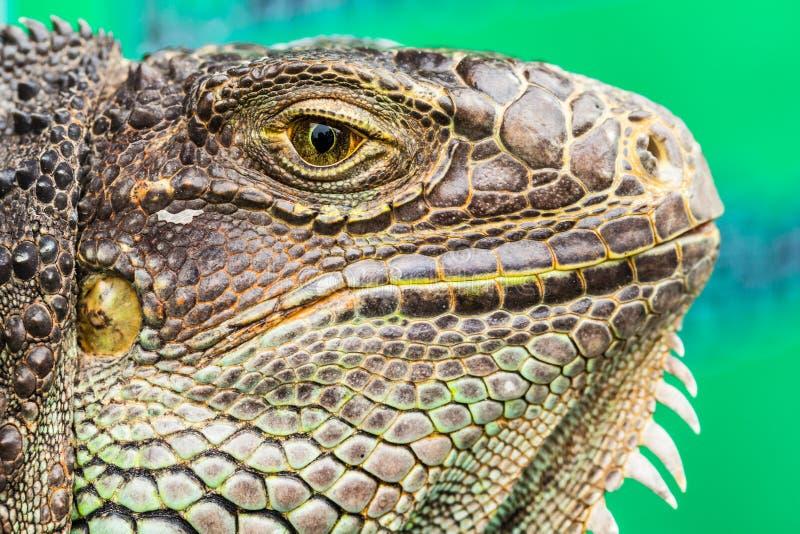 Primo piano del ritratto dell'iguana fotografia stock
