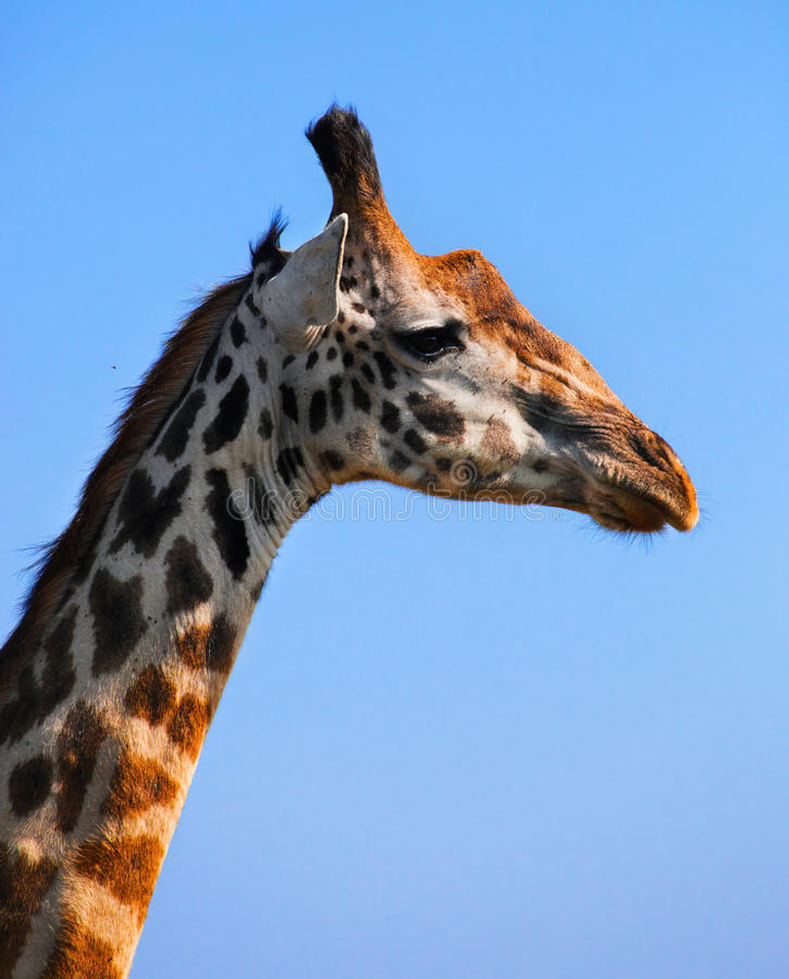 Primo piano del ritratto della giraffa. Safari in Serengeti, Tanzania, Africa fotografie stock
