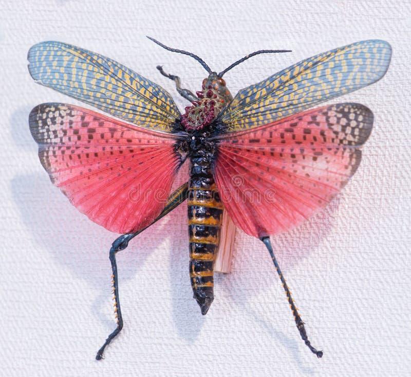 Primo piano del sexosus di Phimateus della locusta, O madagascar fotografia stock libera da diritti