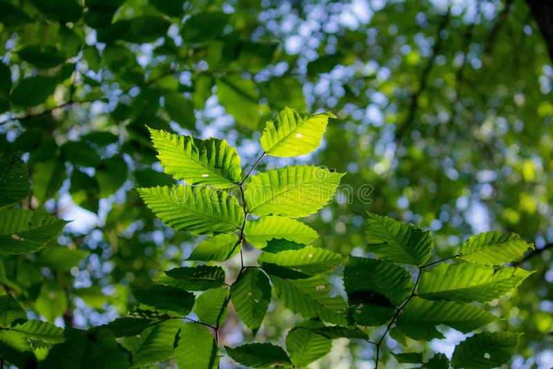 Primo piano del tipo del faggio di foglia con fondo frondoso verde vago fotografie stock libere da diritti
