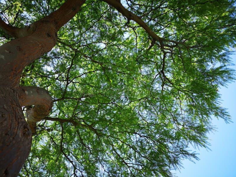 Primo piano del tronco di albero - cercando nella foresta dell'albero immagine stock libera da diritti
