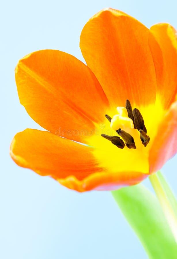 Primo piano arancio vivo del tulipano fotografie stock