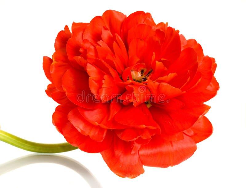 Primo piano del tulipano rosso sopra bianco immagini stock libere da diritti