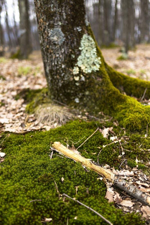 Primo piano dell'albero con muschio sulle radici immagine stock
