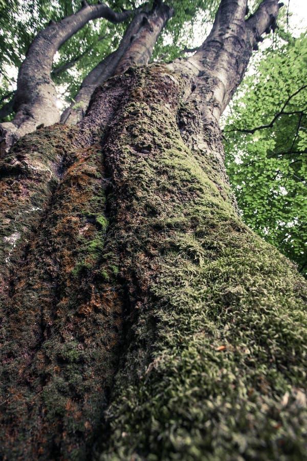 Primo piano dell'albero di faggio invaso con muschio in rainfor della riserva naturale fotografia stock libera da diritti