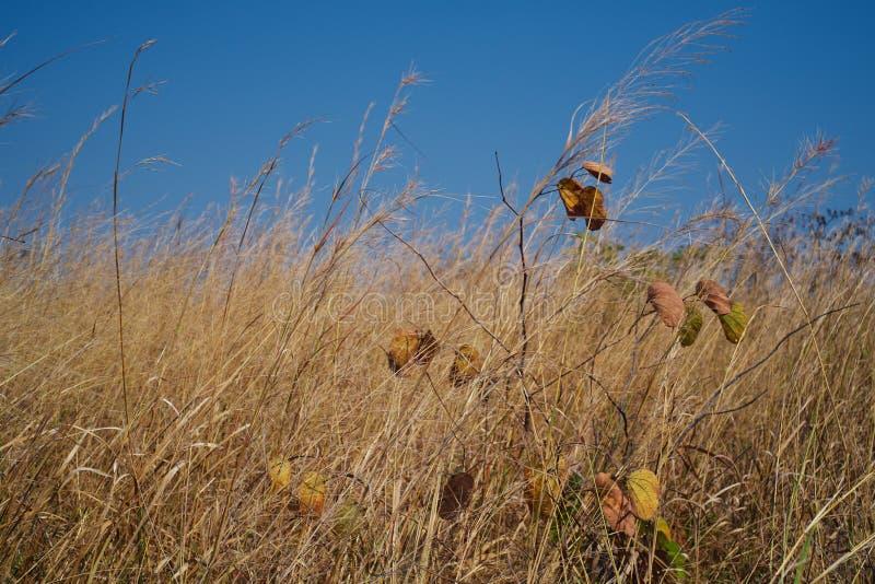 Primo piano dell'albero di orchidea nel campo di erba dorato in Malanje, Angola fotografie stock libere da diritti