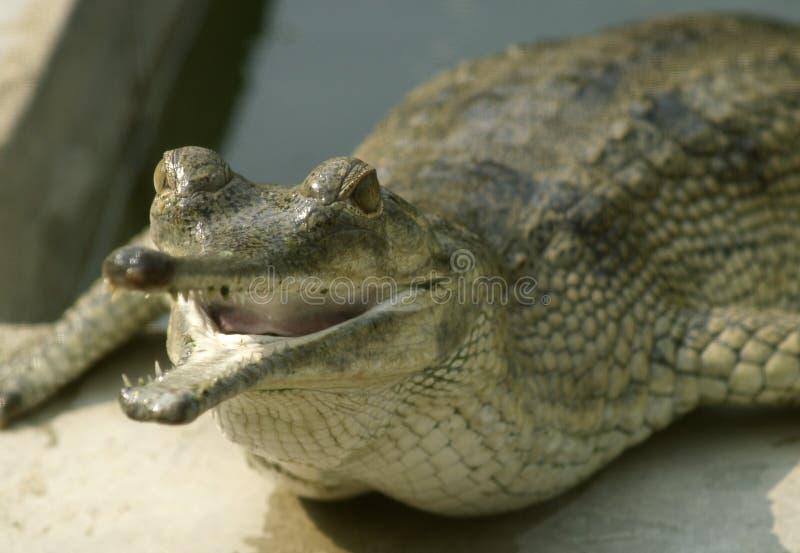 Primo piano dell'alligatore immagine stock libera da diritti