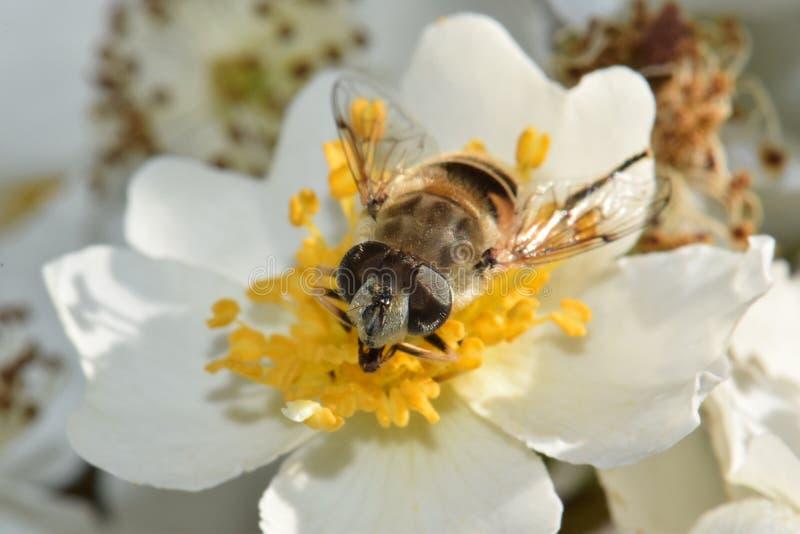 Primo piano dell'ape in fiore bianco immagine stock libera da diritti