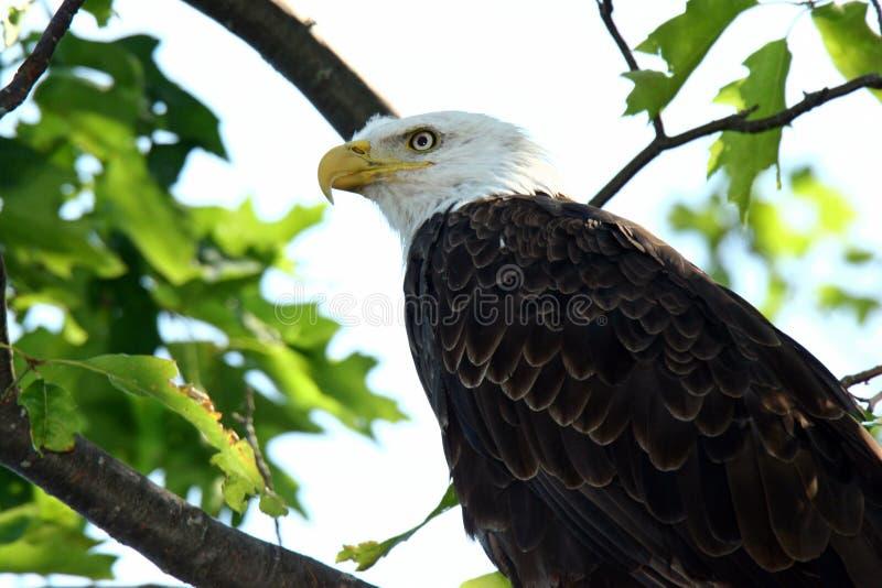 Primo piano dell'aquila calva in albero in Wisconsin del Nord fotografia stock libera da diritti
