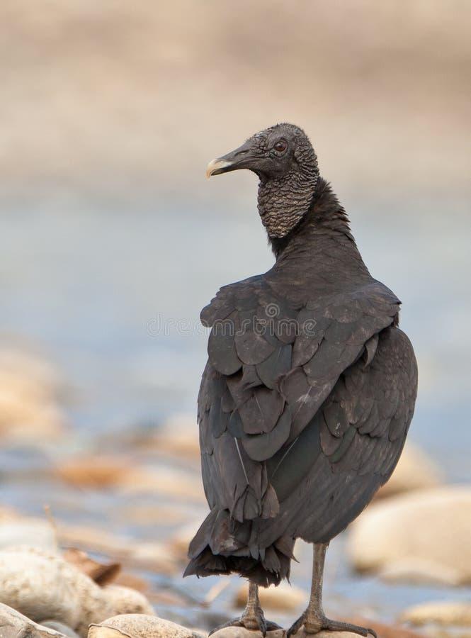 Primo piano dell'avvoltoio nero immagine stock libera da diritti