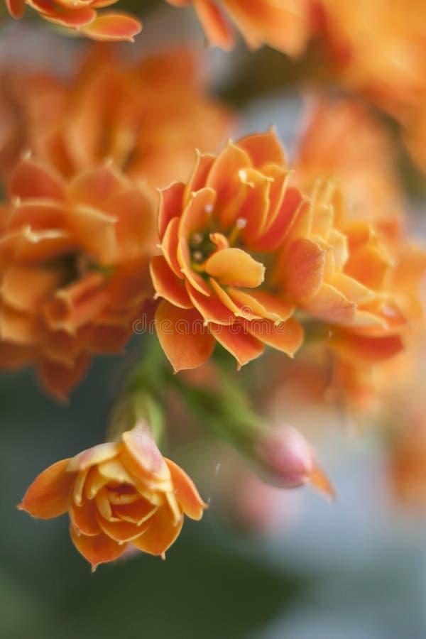Primo piano dell'bei fiori arancio nel fuoco molle fotografie stock