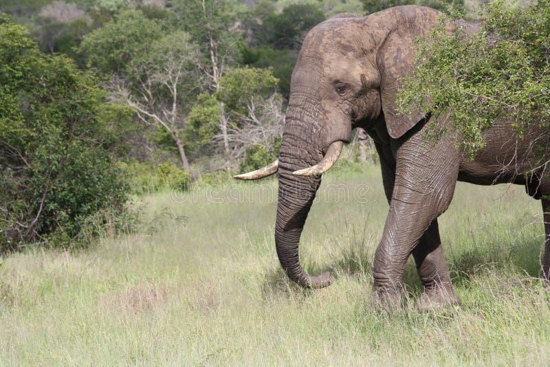 Primo piano dell'elefante di toro dietro l'albero immagine stock