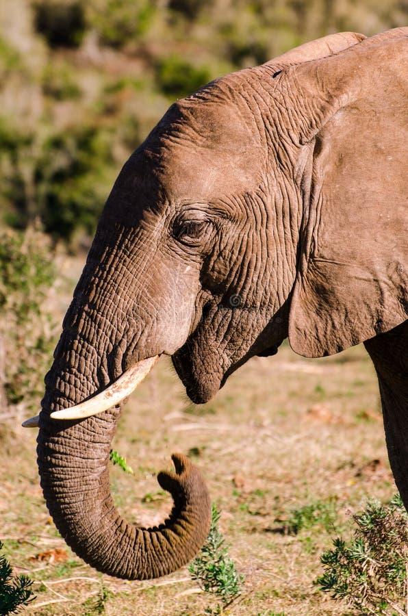 Primo piano dell'elefante, proboscide della zanna Gli elefanti di Addo parcheggiano, photoghraphy della fauna selvatica del Sudaf fotografia stock libera da diritti