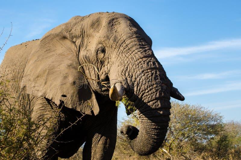 Primo piano dell'elefante, proboscide della zanna Gli elefanti di Addo parcheggiano, photoghraphy della fauna selvatica del Sudaf immagini stock
