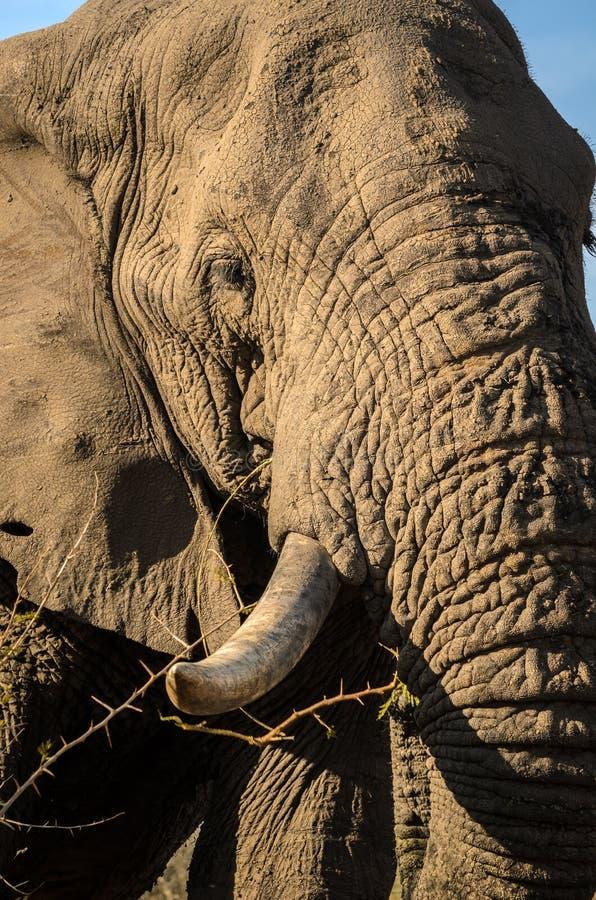 Primo piano dell'elefante, proboscide della zanna Gli elefanti di Addo parcheggiano, photoghraphy della fauna selvatica del Sudaf immagini stock libere da diritti