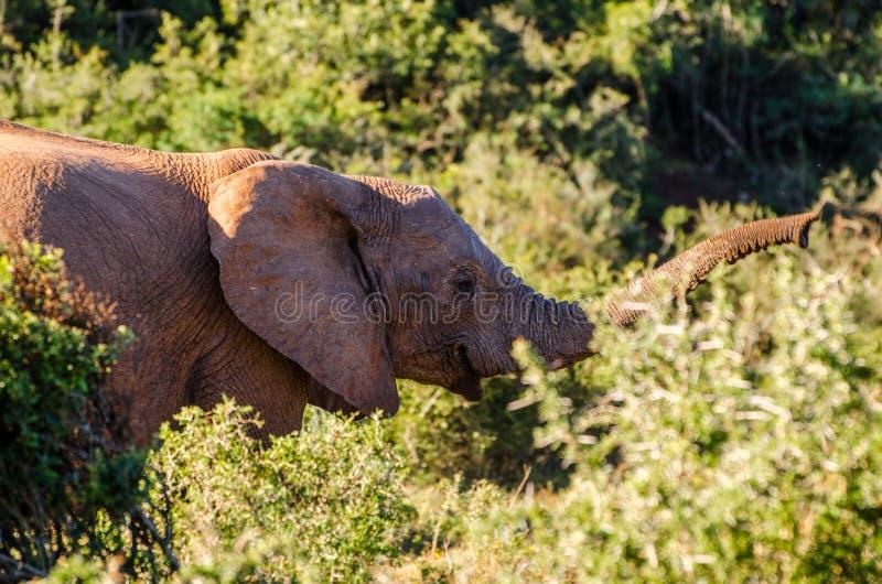 Primo piano dell'elefante, proboscide della zanna Gli elefanti di Addo parcheggiano, photoghraphy della fauna selvatica del Sudaf fotografie stock libere da diritti