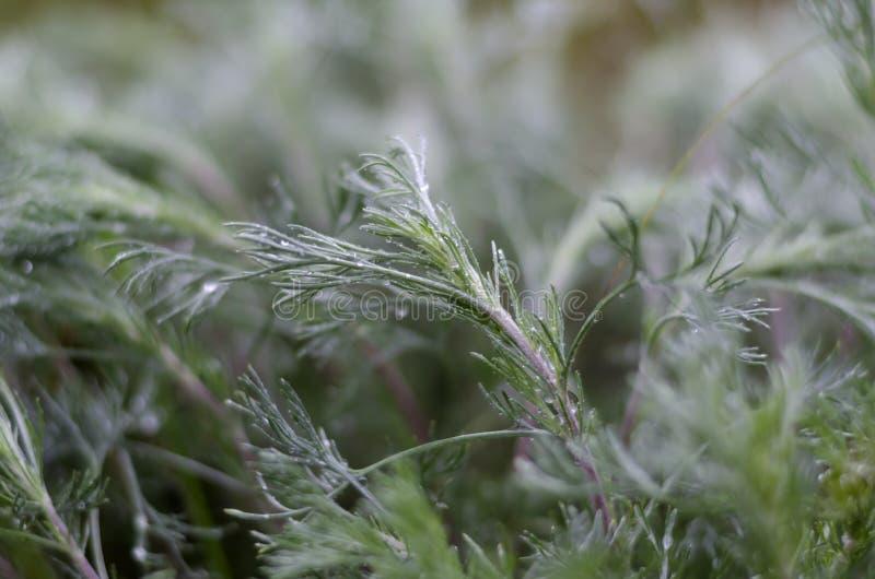 Primo piano dell'erba verde dopo una notte di pioggia Goccioline di acqua sui fogli fotografia stock