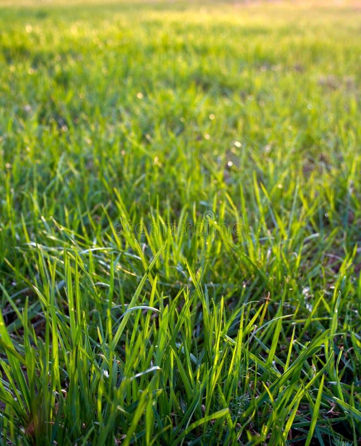 Primo piano dell'erba verde, struttura della priorità bassa. fotografia stock