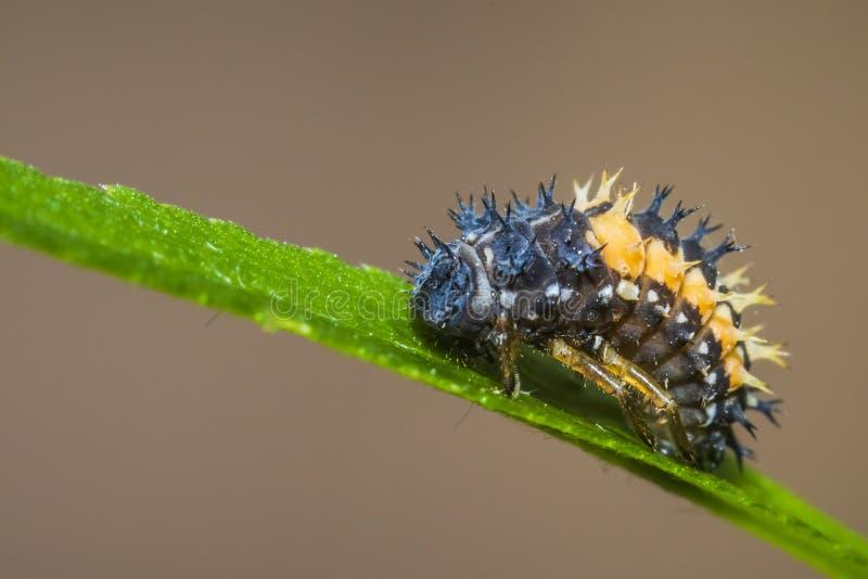 Primo piano dell'insetto della larva della coccinella immagine stock libera da diritti