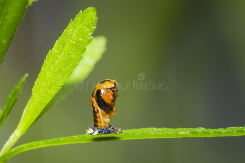 Primo piano dell'insetto della larva della coccinella fotografie stock