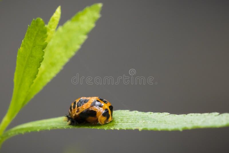 Primo piano dell'insetto della larva della coccinella immagini stock