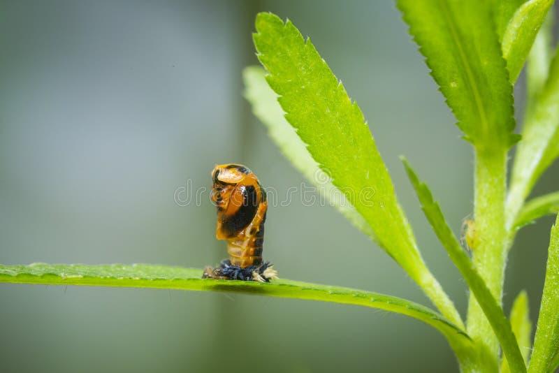 Primo piano dell'insetto della larva della coccinella fotografia stock libera da diritti
