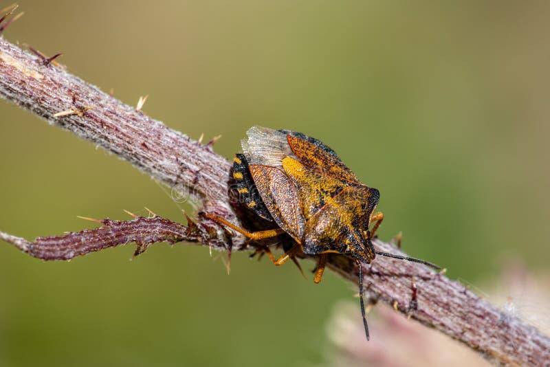 Primo piano dell'insetto variopinto di puzzo fotografie stock libere da diritti