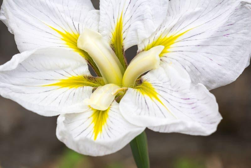 Primo piano dell'iride giapponese bianca in fioritura immagine stock