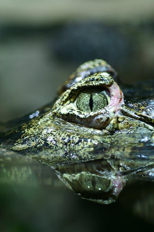Primo piano dell'occhio del coccodrillo fotografia stock libera da diritti