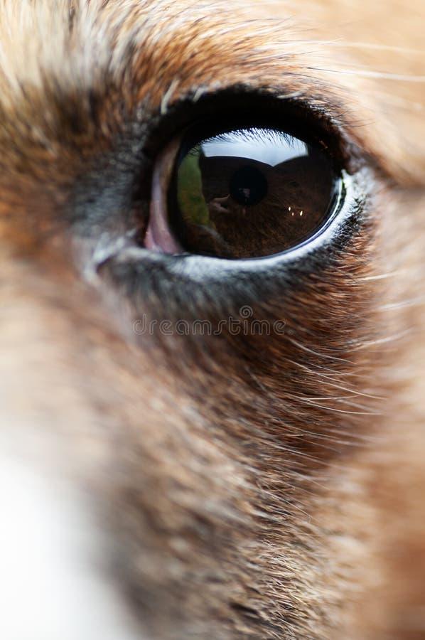 Primo piano dell'occhio del piccolo cane con le riflessioni visibili in  fotografia stock libera da diritti
