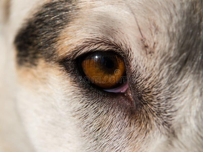 Primo piano dell'occhio del ` s del cane fotografie stock libere da diritti