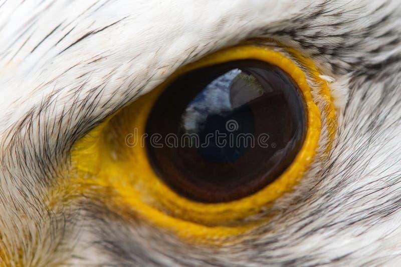Primo piano dell'occhio di Eagle, macro foto, occhio del Gyrfalcon, rusticolus del falco immagine stock libera da diritti