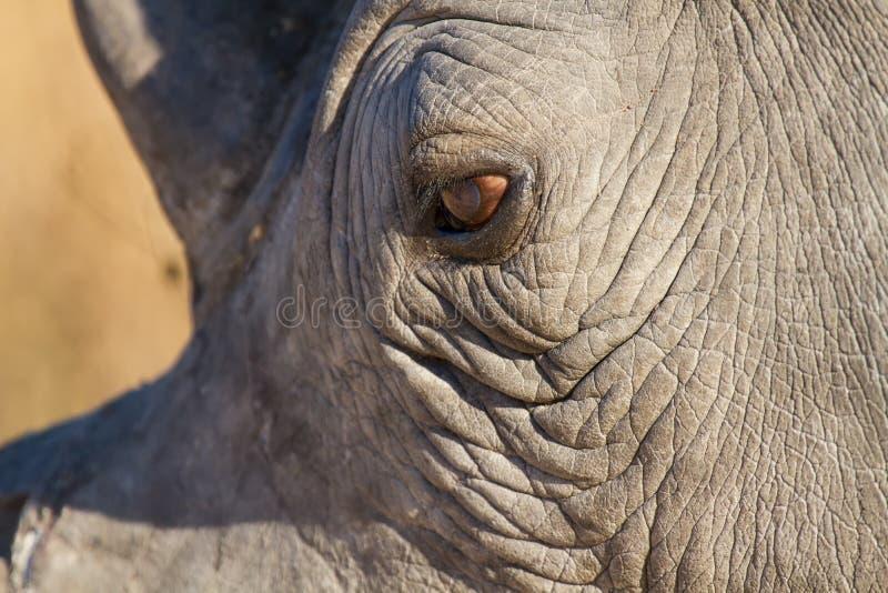 Primo piano dell'occhio di rinoceronte che sembra triste al sole fotografia stock libera da diritti