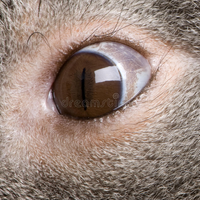 Primo piano dell'occhio maschio dell'orso di Koala immagine stock