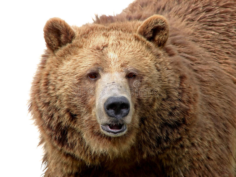 Primo piano dell'orso grigio isolato su bianco fotografia stock libera da diritti
