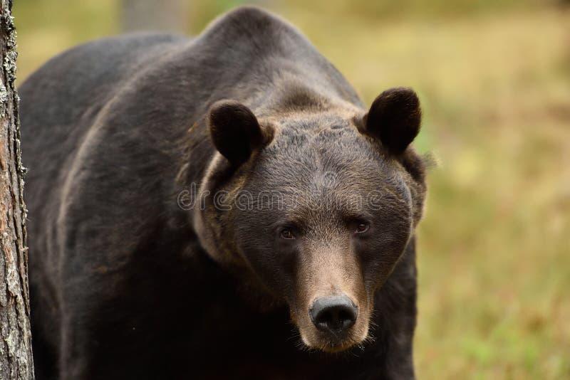 Primo piano dell'orso Ritratto dell'orso bruno fotografia stock