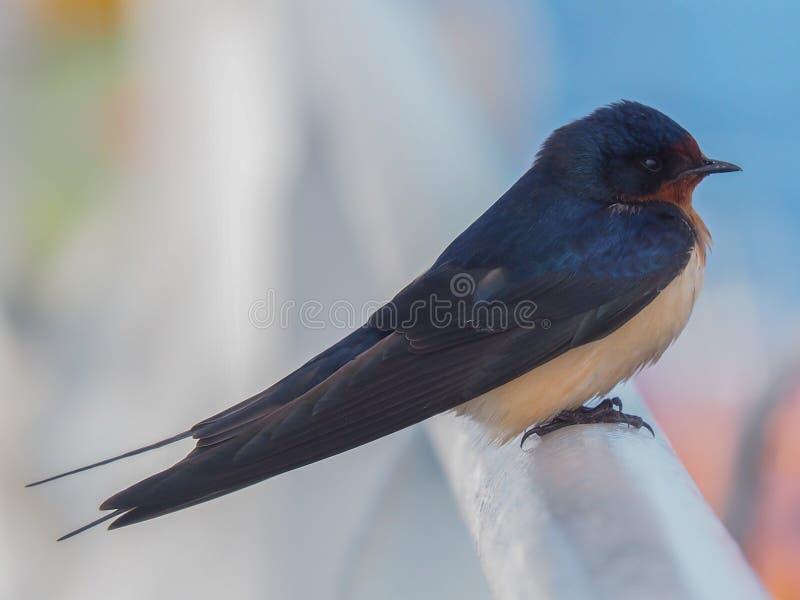 Primo piano dell'uccello del sorso di granaio (rustica del Hirundo) fotografia stock libera da diritti