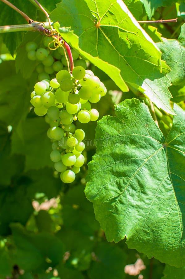 Primo piano dell'uva che sboccia in sole in frutteto di estate fotografie stock libere da diritti