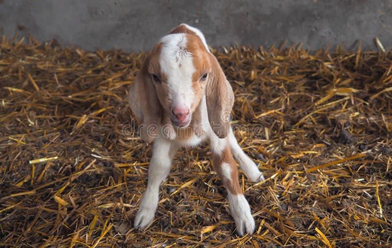 Primo piano della capra neonata o del bambino del bambino adorabile sveglio fotografia stock