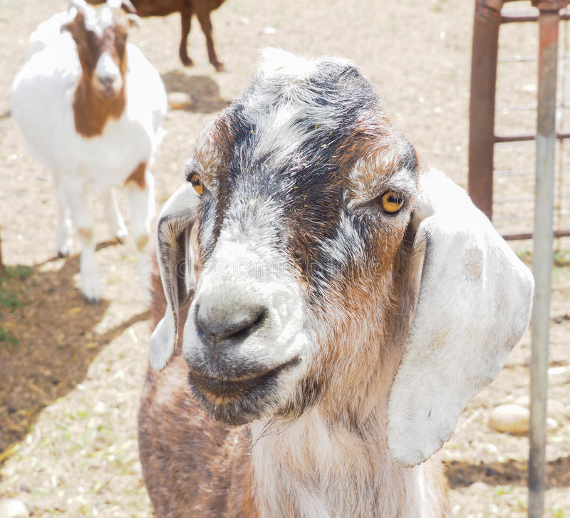 Primo piano della capra o del bambino fotografia stock libera da diritti