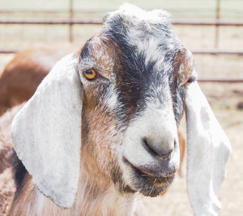 Primo piano della capra o del bambino fotografie stock libere da diritti