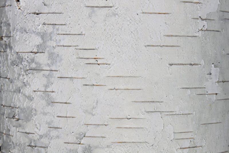 Primo piano della carta dello sfondo naturale di struttura della corteccia di betulla fotografia stock libera da diritti