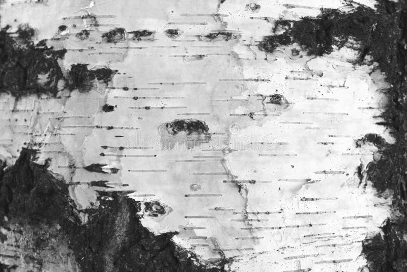 Primo piano della carta dello sfondo naturale di struttura della corteccia di betulla/foto in bianco e nero immagini stock libere da diritti