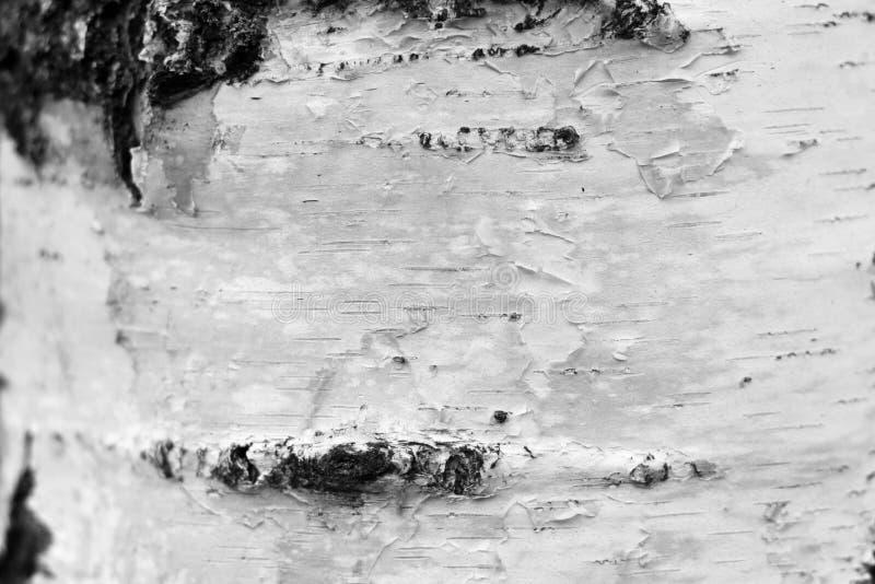 Primo piano della carta dello sfondo naturale di struttura della corteccia di betulla/foto in bianco e nero fotografia stock